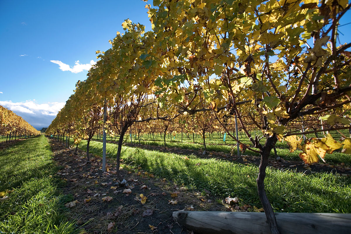 Vineyards producing New Zealand's Sauvignon Blanc is a visit you need to make when in the country ... photo by CC user © Jorge Royan / http://www.royan.com.ar